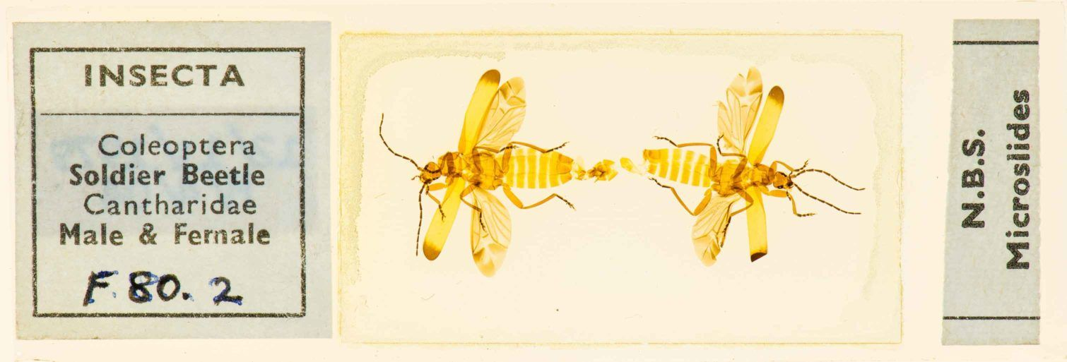 Soldier beetles in Paisley Museum collections