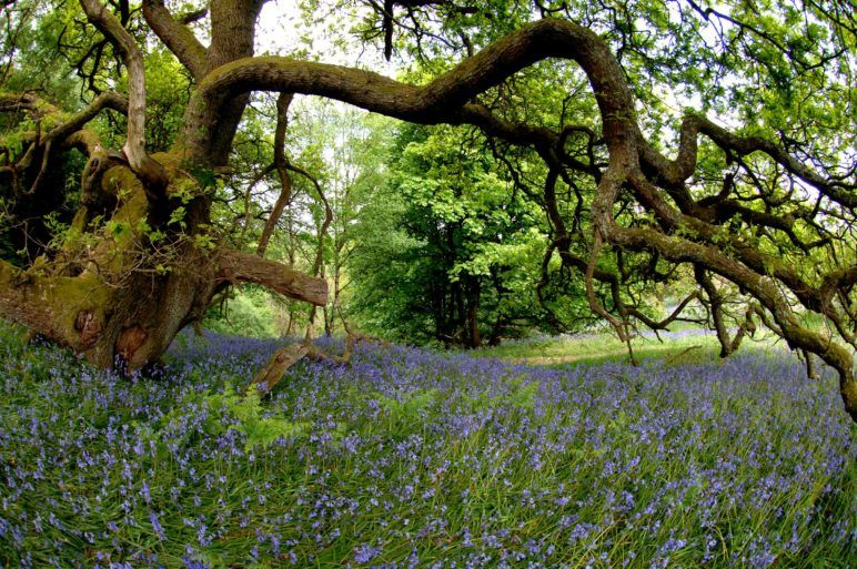 Renfrewshire countryside featuring bluebells and oak tree