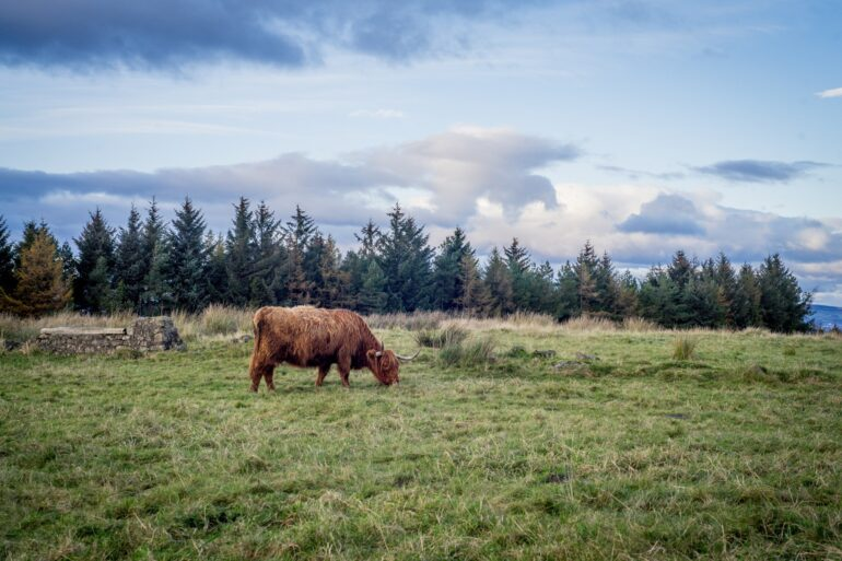 Highland cows grazing in Gleniffer Braes Country Park